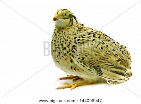 Laying hen of domesticated yellow quail isolated on white background.  Domesticated quails are important agriculture poultry