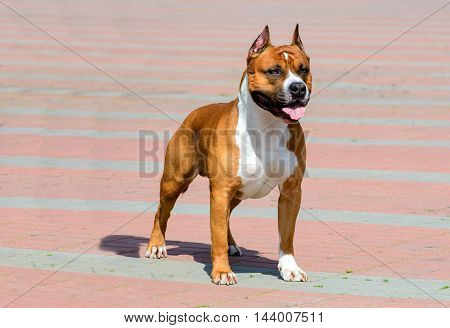 American Staffordshire Terrier full face.   The American Staffordshire Terrier is in the city park.