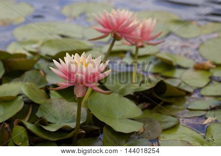 Pink Waterlilies in full bloom surrounded by lilypads