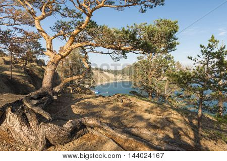 Scenic pine tree with a curved trunk and crooked branches growing right on the edge of a steep cliff above lake Baikal.