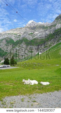 Goats on a mountain meadow before the rock faces of the mountain peak Säntis, blue sky and white clouds