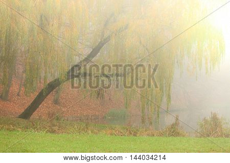 Weeping Willow Tree In Autumn Park.