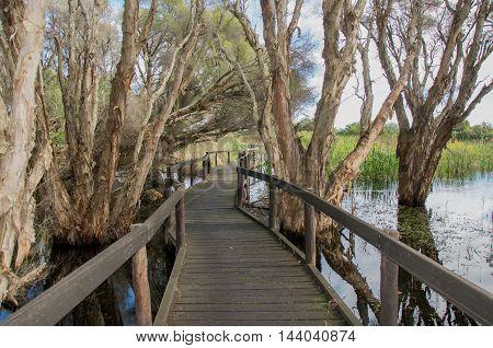 Wooden boardwalk winding through the paperbark trees in the Herdsman Lake wetland reserve in Western Australia.