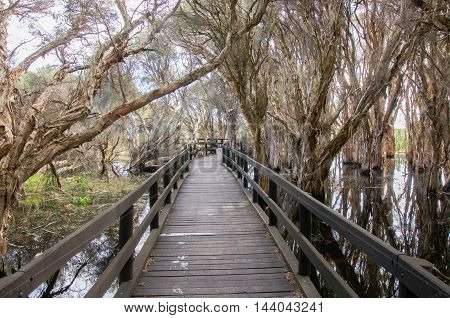 Wooden boardwalk in diminishing perspective through the paperbark trees in the Herdsman Lake wetland reserve in Western Australia.