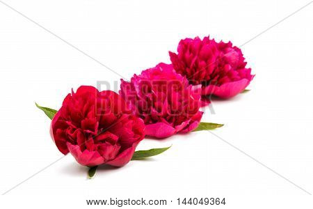 Flowers. Red piones bouquet isolated on white