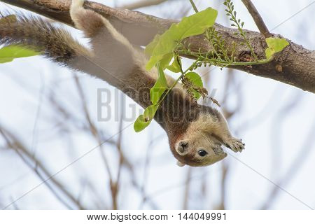 Squirrel Were Hung On The Branches