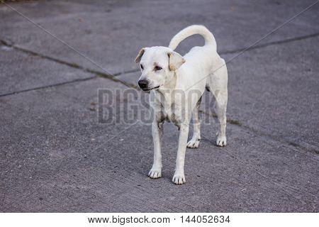 thai white stray dog , animal pet
