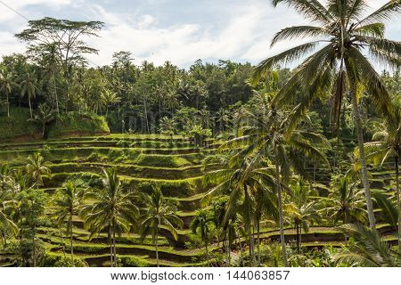 Padi Terrace Bali Indonesia - Local plantation of the layered rice terrace in Bali Island Indonesia.