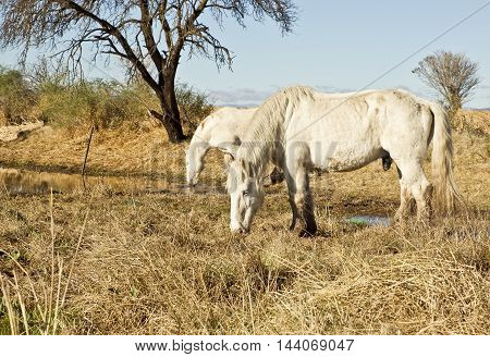 two beautiful white horses standing in dry grass eating early in the morning