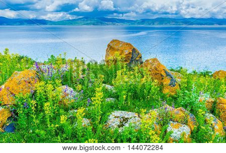 The rocky meadow with lush greenery wildflowers and boulders covered with lichen and moss on the bank of Sevan Lake Hayravank Armenia.