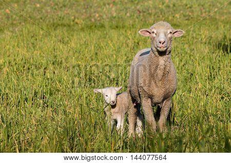 ewe with newborn lamb standing on meadow
