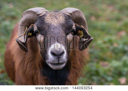 Mouflon ram looks head-on into the camera