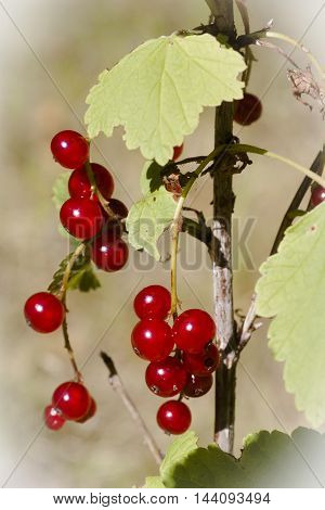 red currant berries ripening on the schrub