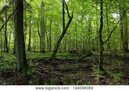 Wet deciduous stand in summer and water-hole in summertime shady stand, Bialowieza Forest, Poland, Europe