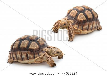 African spurred sulcata Tortoise Geochelone sulcata on white background