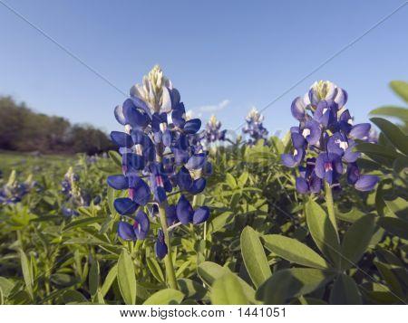 Bluebonnets - Tx State Flower
