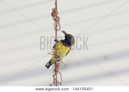 Male olive-backed sunbird, known a yellow-bellied, with insect in its beak perching on metal wire. Bird will feed food to its young. Cinnyris jugularis)