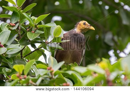 Bald headed Common Myna bird with yellow head perching on tree branch in the forest, Thailand, Asia