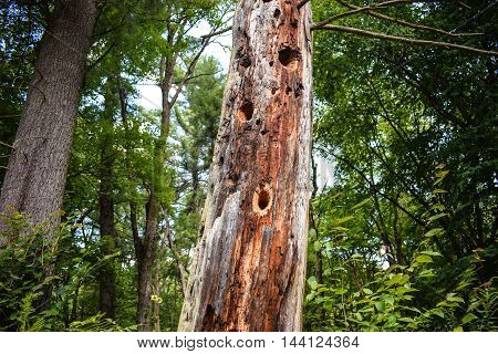 Standing dead tree with holes pecked into it by woodpeckers.