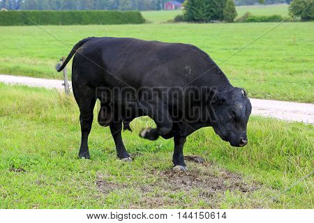 Black angry bull pawing on a field head down a threat display typical to bulls. Slow shutter speed to highlight the forefoot movement.