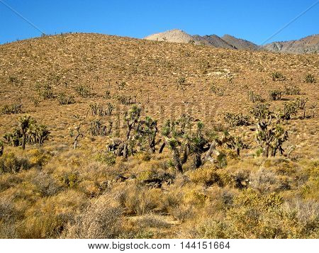 Genera view of a Joshua Tree forest in the Mojave Desert (California, USA)