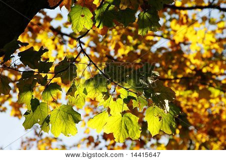Colorful Autumn Leaves in Trees with Sunlight