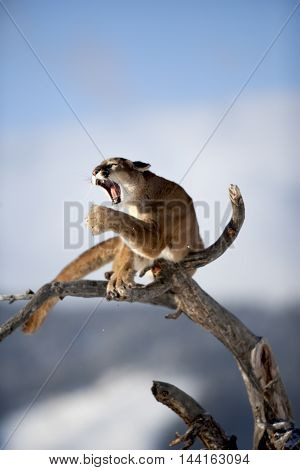 Close View The Face Of Mountain Lion