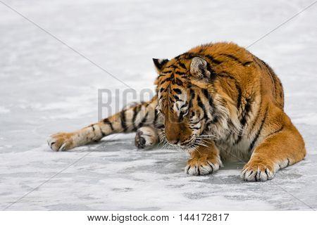 Portrait Of Amur Tiger.