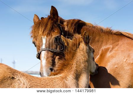 Mare With Her Baby Combed Each Other On The Sky Background