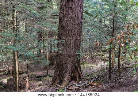 Old Growth Forest in Pennsylvania -- Cook Forest state Park.