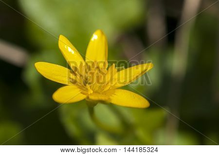 Close up of one flower of Lesser Celandine (Ranunculus ficaria)