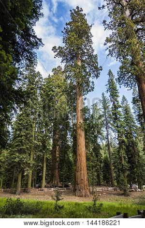 Big Sequoias In Beautiful Sequoia National Park