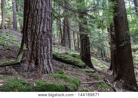 Cook Forest State Park Pennsylvania. One of the largest old growth forests in the Eastern United states.