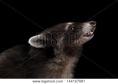 Closeup Portrait of sniffing Baby Raccoon Looking up isolated on Black Background, Profile view