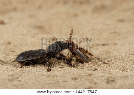 Closeup black beetle (Scarites bucida) caught the grasshopper on sand in desert. Jungle law