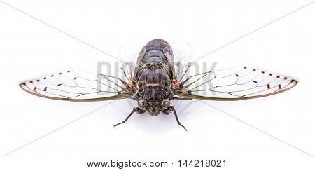 cicada isolated on white background insect animal
