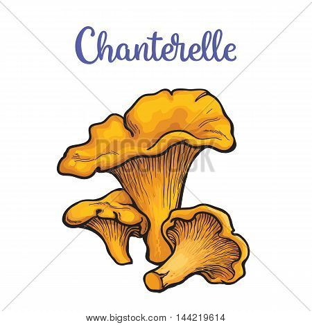 Set of chanterelle edible mushrooms sketch style vector illustration isolated on white background. Collection of edible mushrooms chanterelle