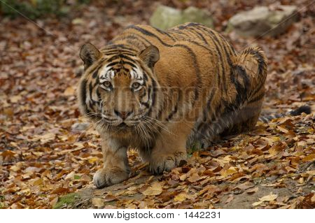 Siberian tiger looking for his prey from the cover. poster