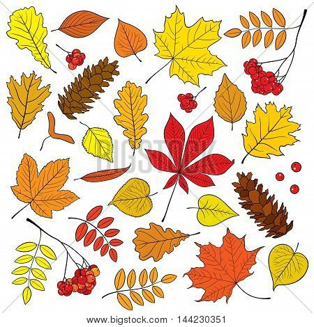 Autumn vector set of different, isolated, detailed outline tree leaves, bunch of ripe Rowan and pine cone on white background. Illustration in red, yellow, orange colors for design and decor.