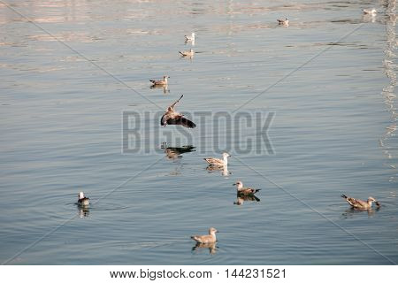 Seagulls floating on a calm sea in northern Spain