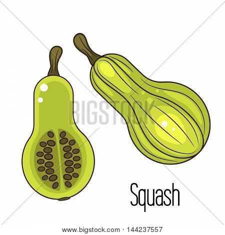 Green squash or zucchini vector illustration. Cartoon pumpkin and slice with seeds.