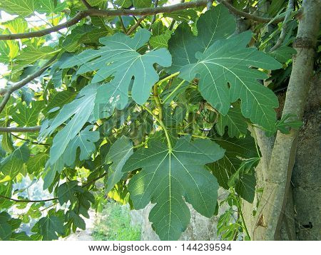 Fig tree with delicious figs fruit o several meals