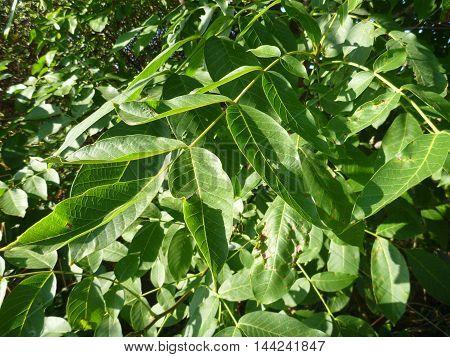 Detail Of A Green Wallnut Leaf