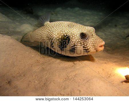 Pufferfish in shallow water in Read Sea.