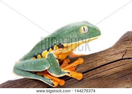 The splendid leaf frog, Cruziohyla calcarifer, isolated on white background