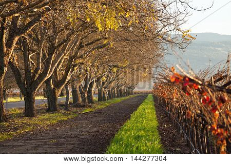 Rows of oak trees and vineyards in autumn in Napa Valley. Vibrant colors in morning light in wine country. Few yellow leaves on bare trees. Orange grapevine leaves at harvest in Napa, California. poster
