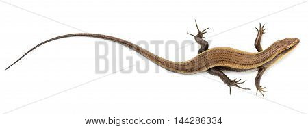 Close up chameleon isolated on white background.