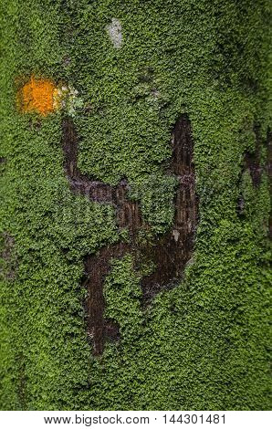 Close up view of brown tree bark with moss for background texture. Green Moss growing on the bark of the old tree.