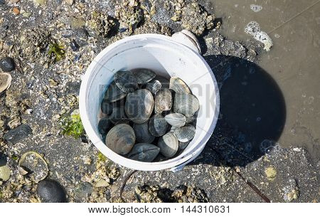 A fresh bucket of clams gathered at low tide