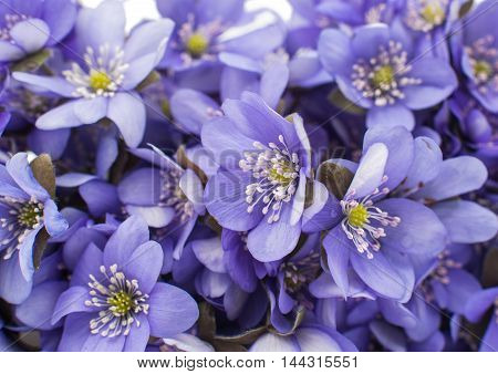 beautiful Hepatica nobilis on a white background